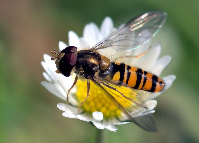 Schwebfliege auf Gänseblümchen