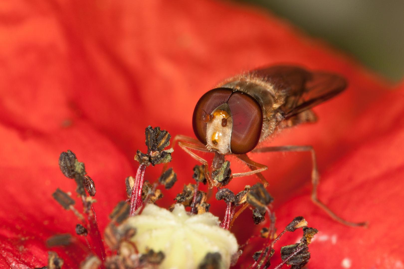 Schwebfliege auf Mohnblume 2