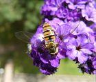 Schwebfliege auf Vanillepflanze