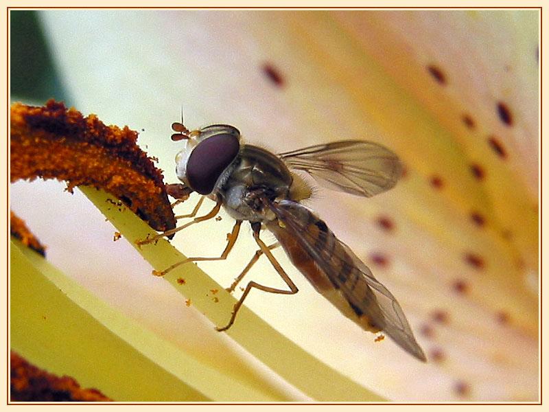 Schwebfliege bei der Pollenkur...