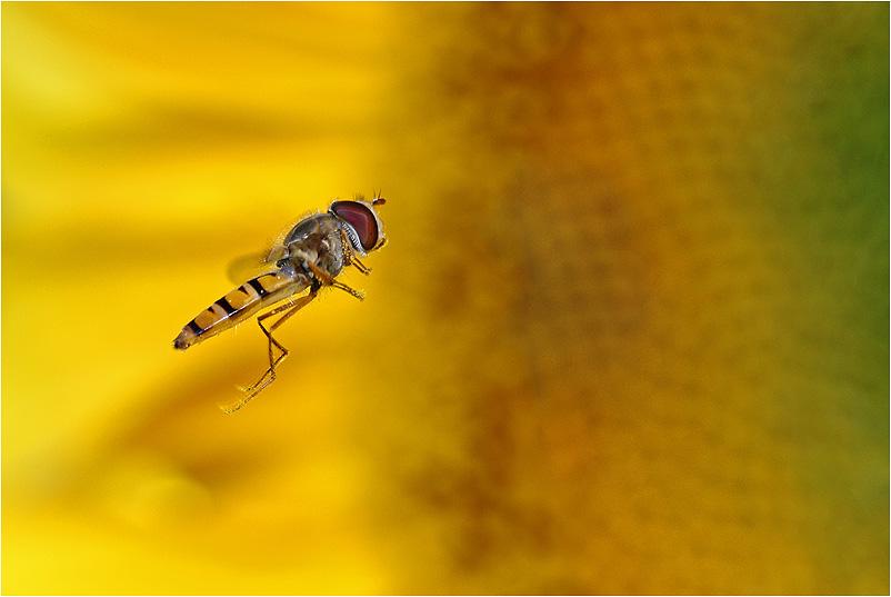 Schwebfliege besucht eine Sonnenblume