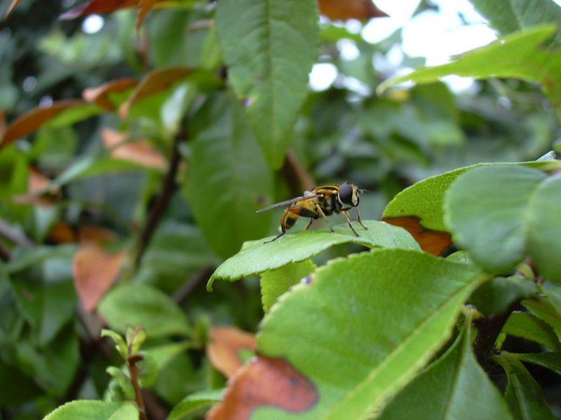 Schwebfliege im Garten
