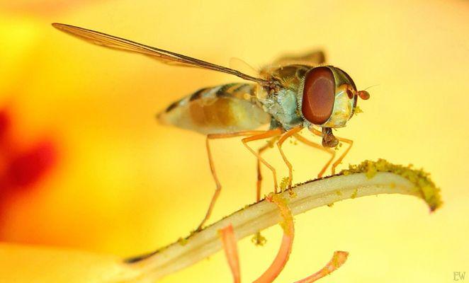 Schwebfliege in gelber Blüte