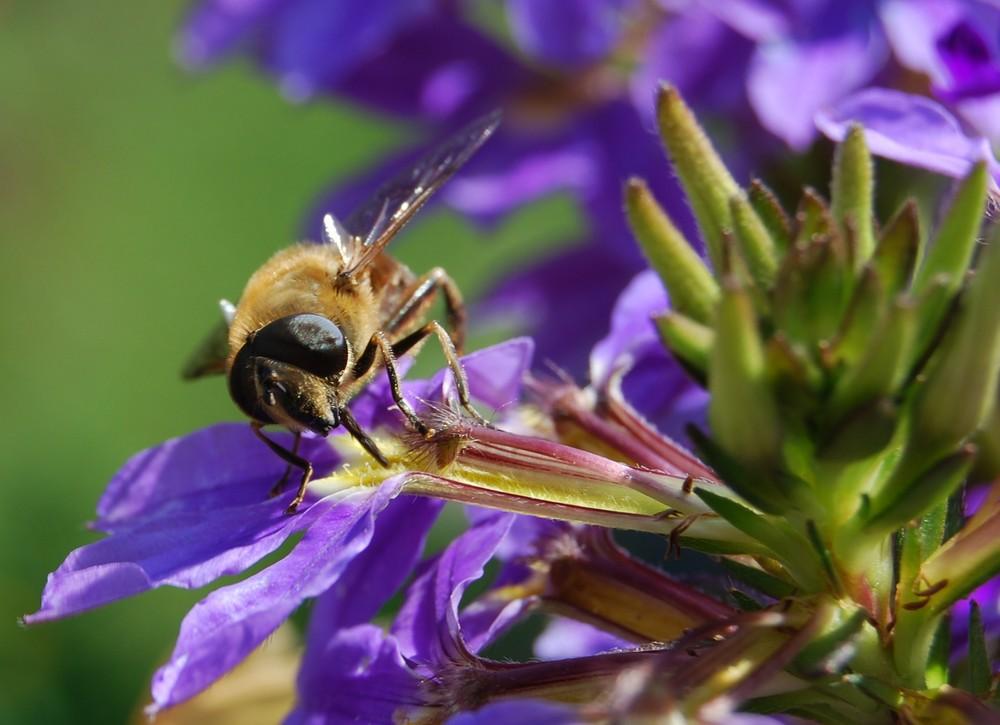 Schwebfliege - keine Biene!