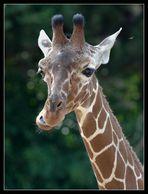 Schwebfliege mit Giraffe