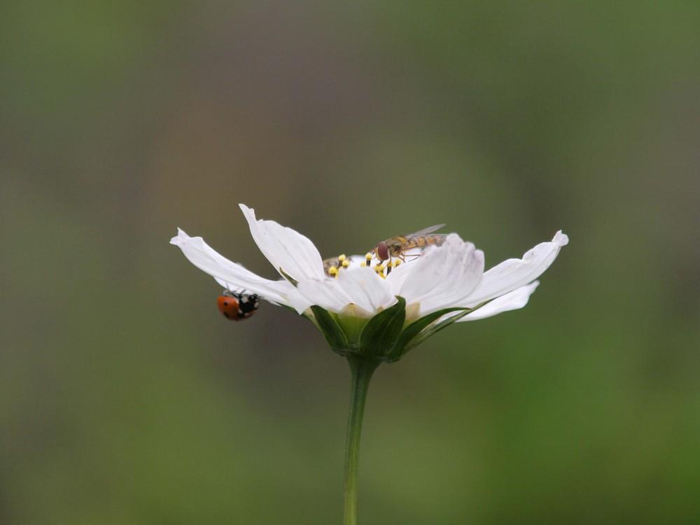 Schwebfliege und Marienkäfer auf Blüte