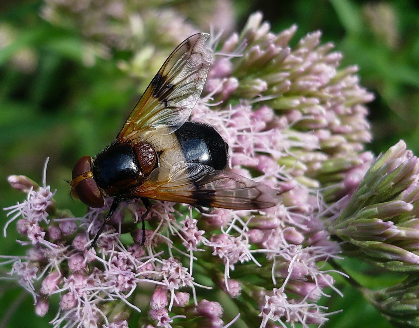 Schwebfliege ( Volucella pellucens )