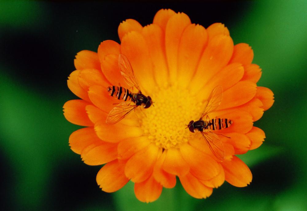Schwebfliegen auf einer Ringelblume