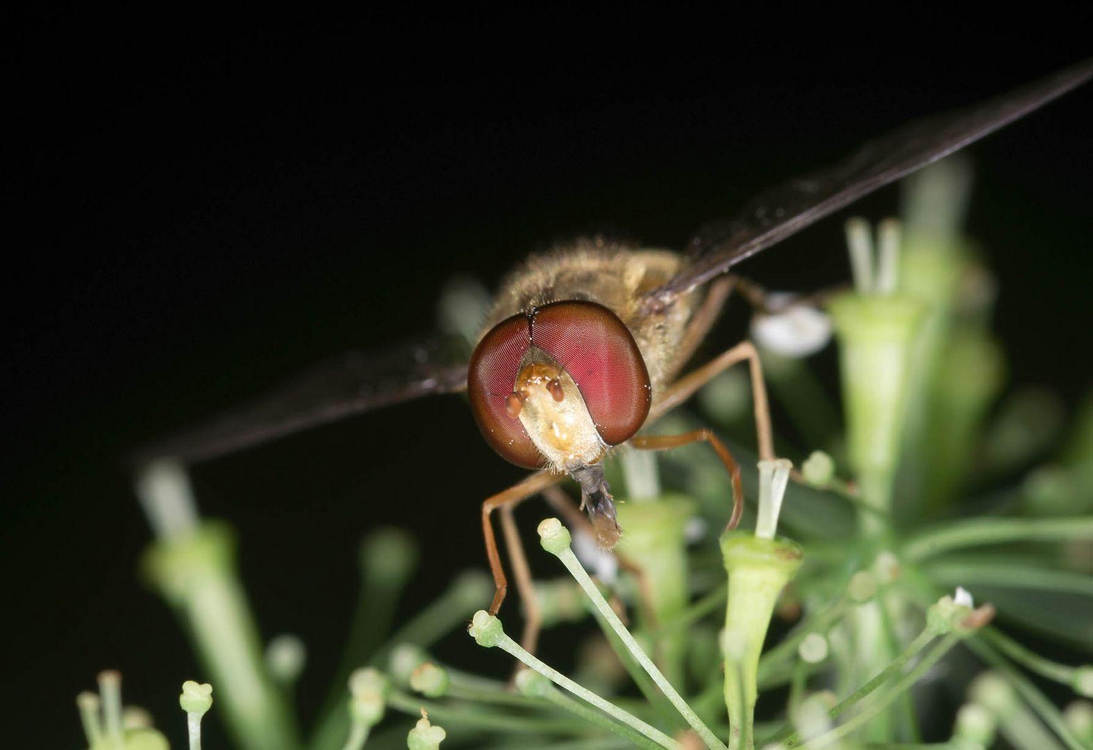 Schwebfliegenporträt