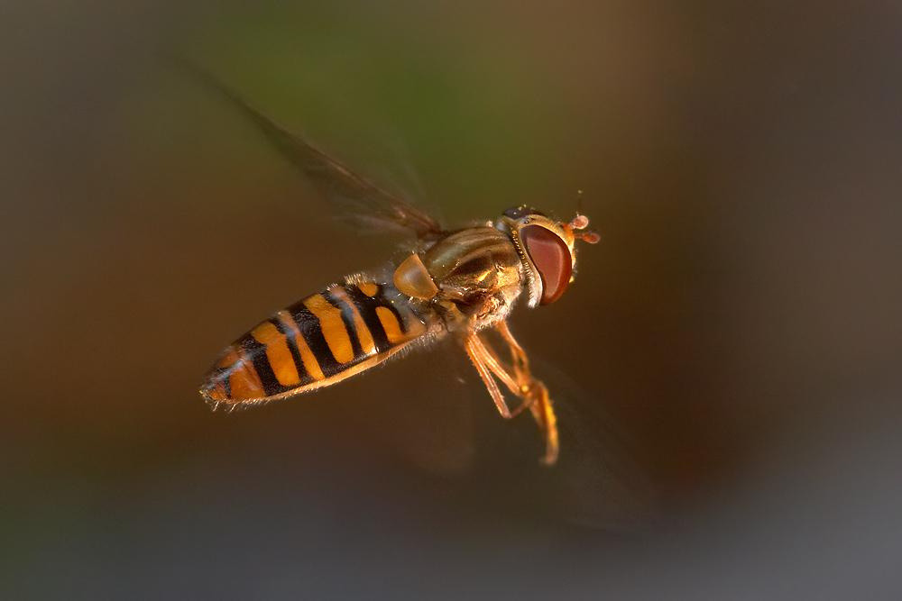 Schwebfliegenserie, Teil III