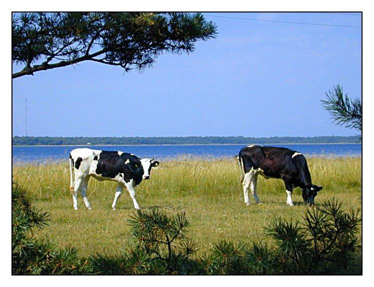 Schwedische Kühe...
