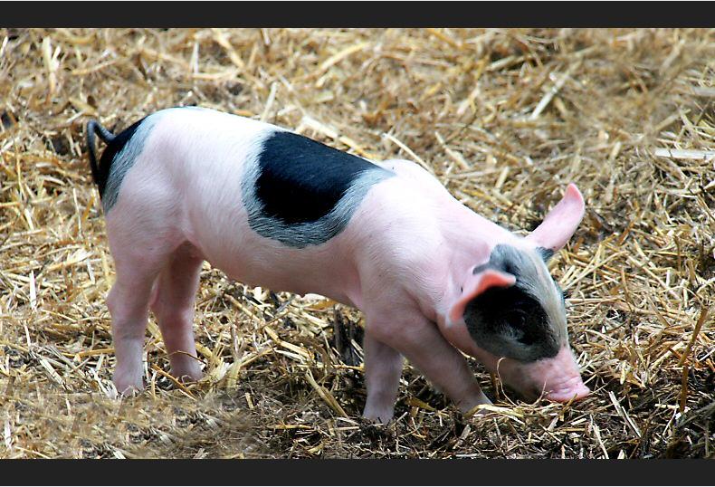 Schwein gehabt !