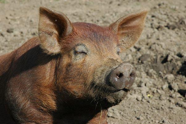 Schwein gehabt…