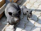 Schwein gehabt ......