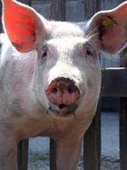 """""""Schwein gehabt"""""""
