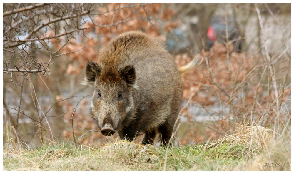 Schwein gehabt II