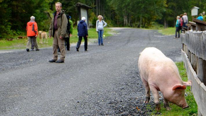 Schwein gehabt...interessante Begegnung auf einer Wanderung