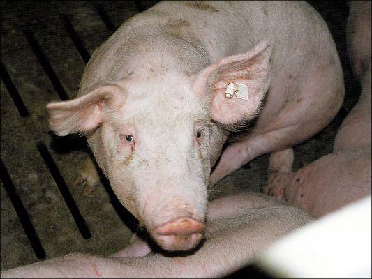Schwein in der Mast, auf Vollspaltenboden [zum Hindurchkoten und -urinieren]
