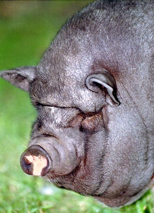 schwein monika, nicht im zoo