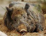 Schwein müsste man sein. (oder haben)