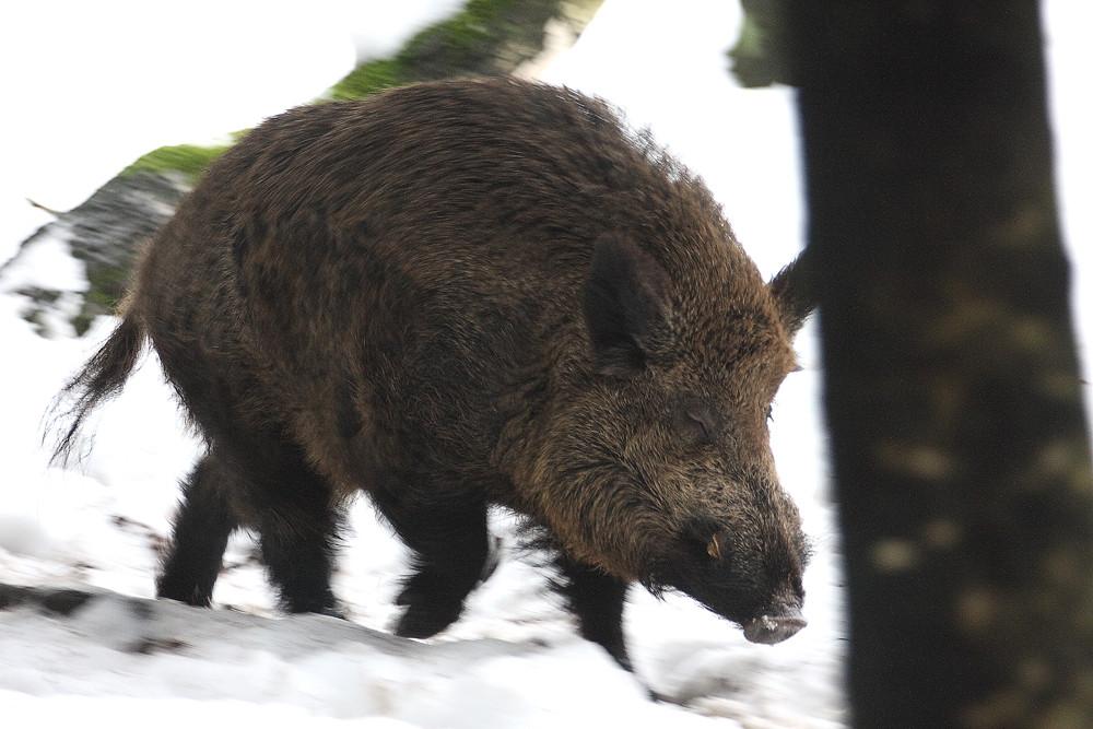 Schwein rennt durch den Winterwald.....