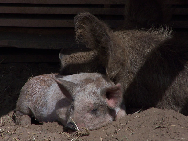 Schwein sein