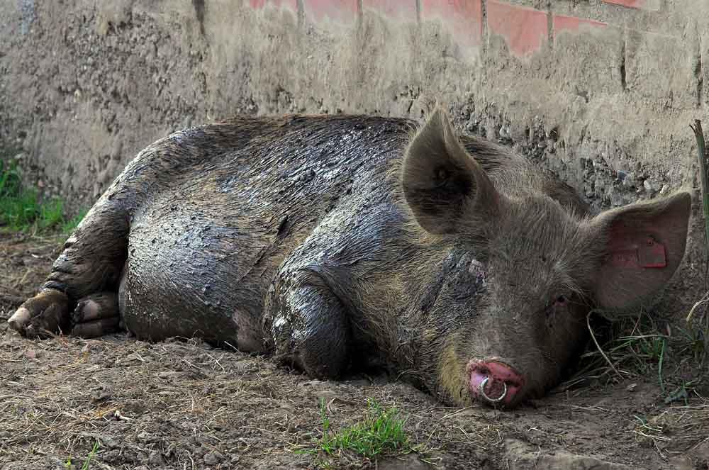 Schwein-sein