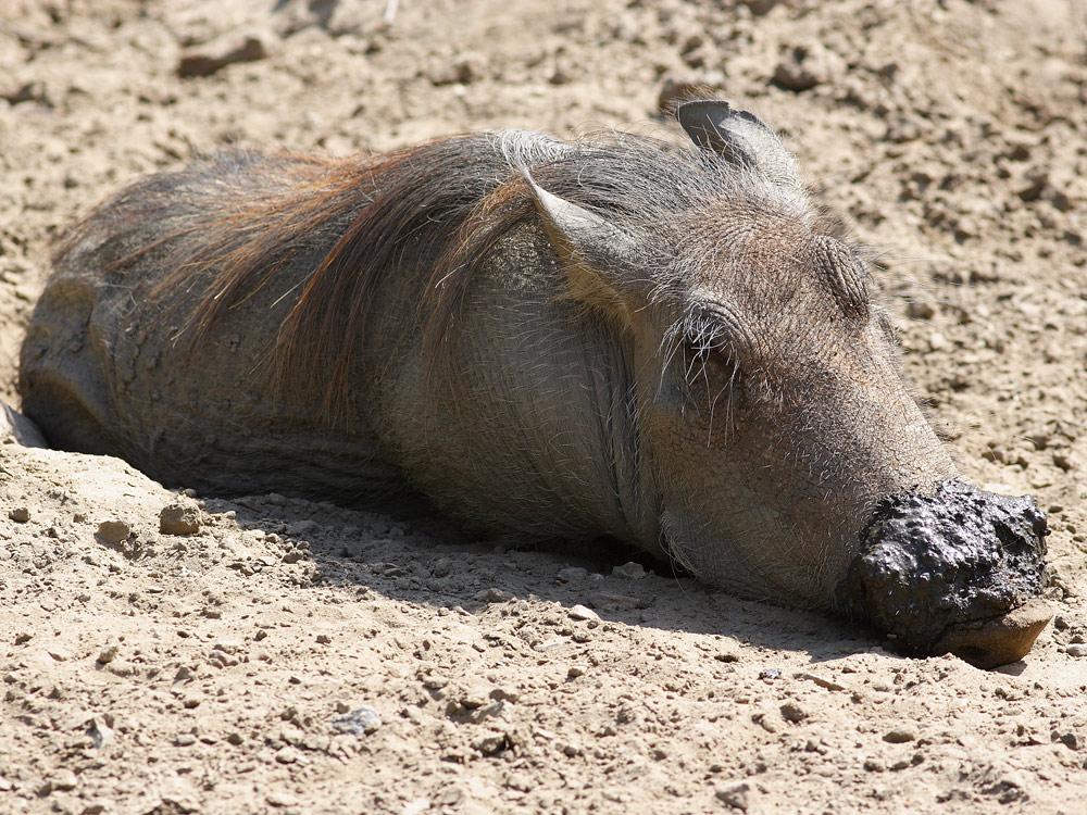 Schwein sein ist schön ...