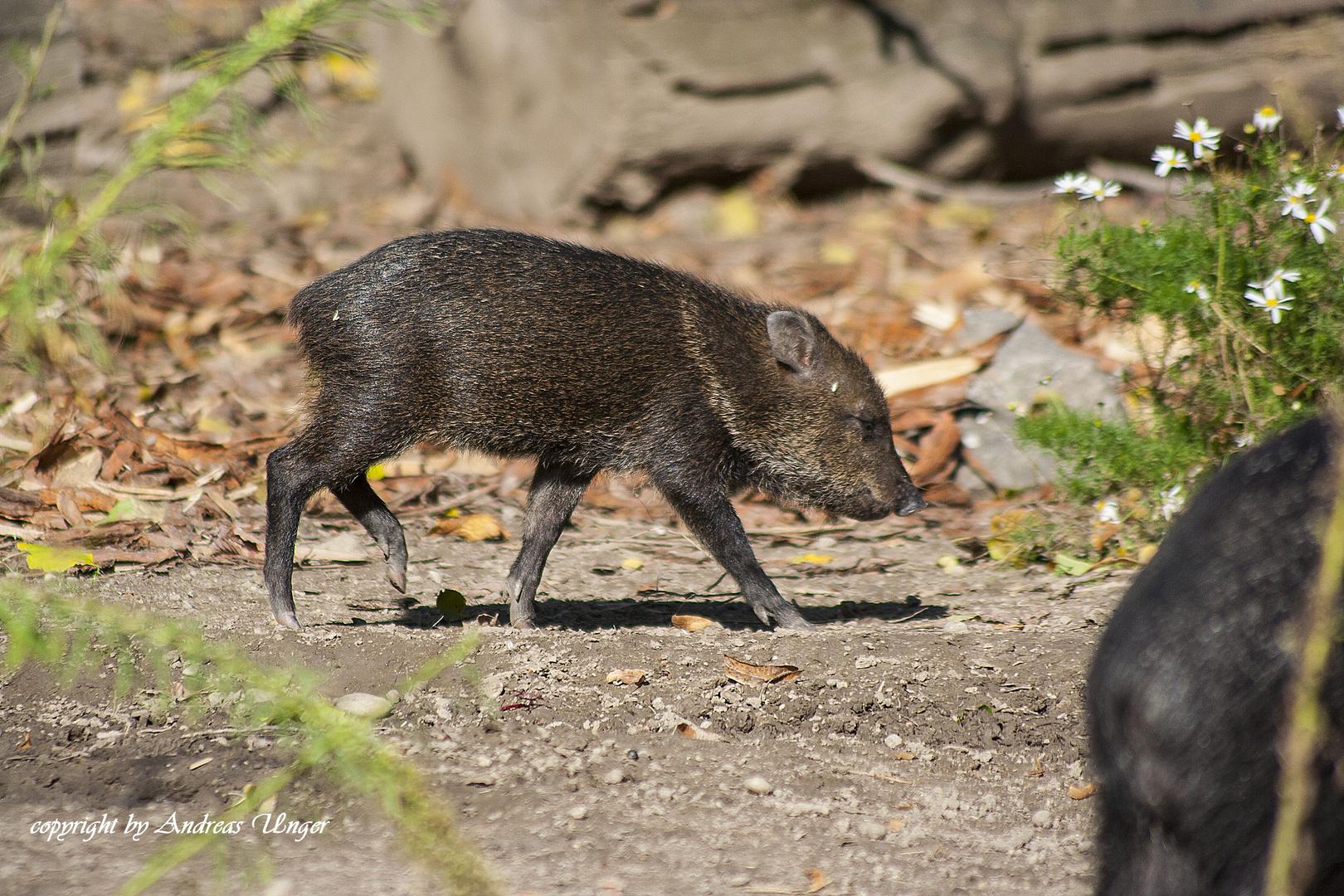 Schweinbaby