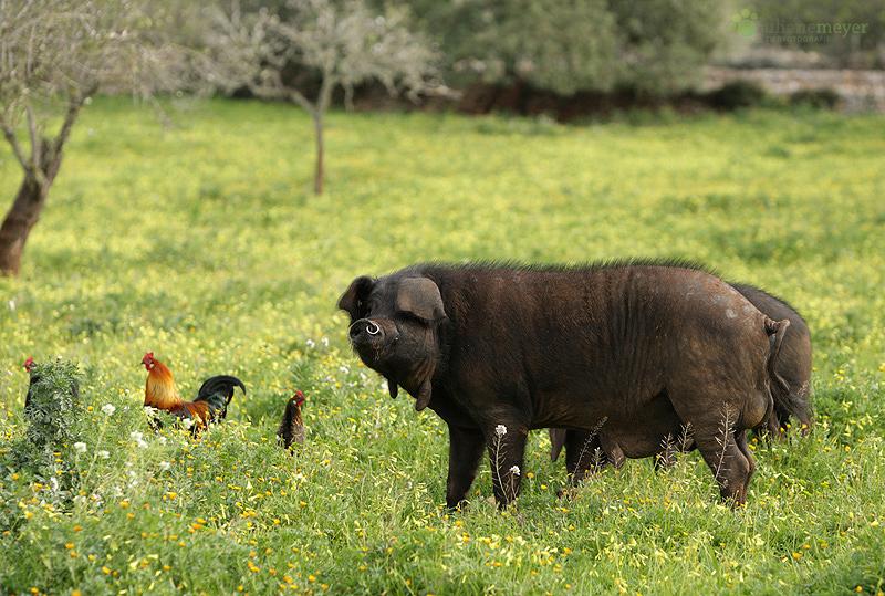 Schweine auf Mallorca....