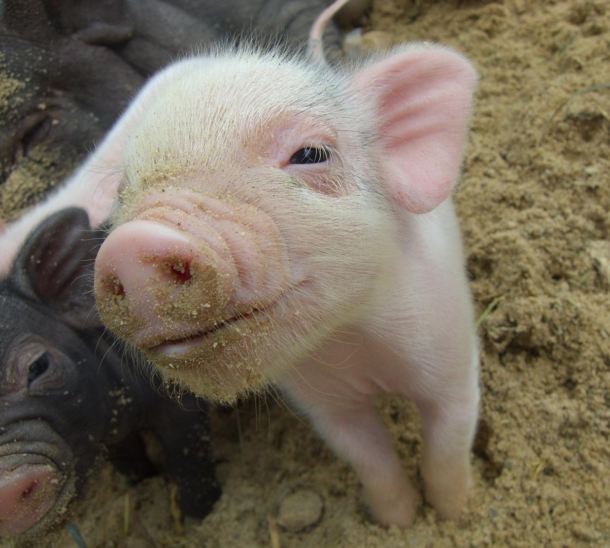 Schweine Lachen