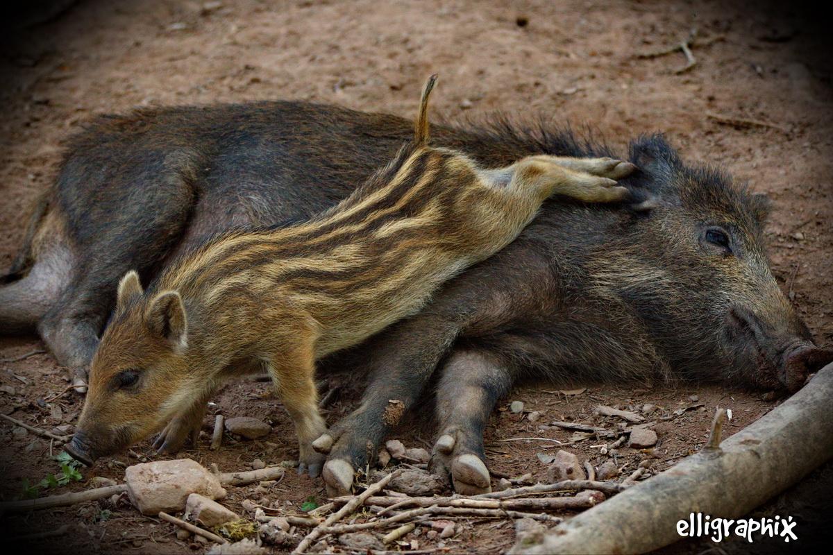 Schweine-YogA