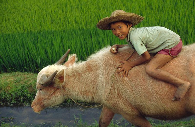 Schweinebüffel / Vietnam
