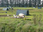 Schweinefamilie mit Eigenheim und Garten.