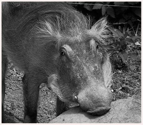 Schweinegesicht in SW