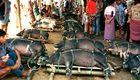 Schweinemarkt in Rantepao - Sulawesi