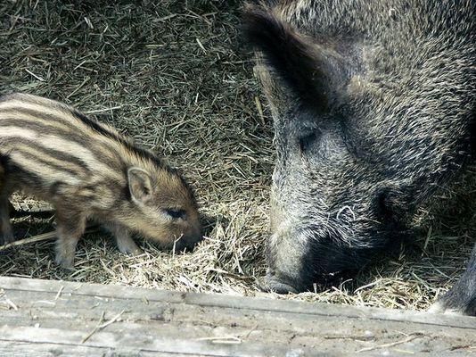 schweinemutti mit kind