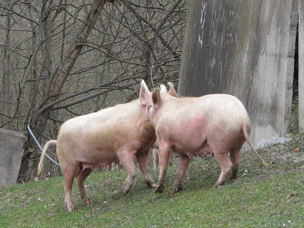 Schweinen kuessen :D