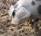 Schweineportrait