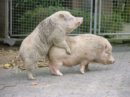 Schweinerei...