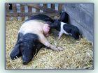Schweinerei: Mutter und Kinder