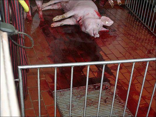 Schweineschlachtung