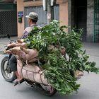 """Schweinetransport auf """"vietnamesisch"""""""