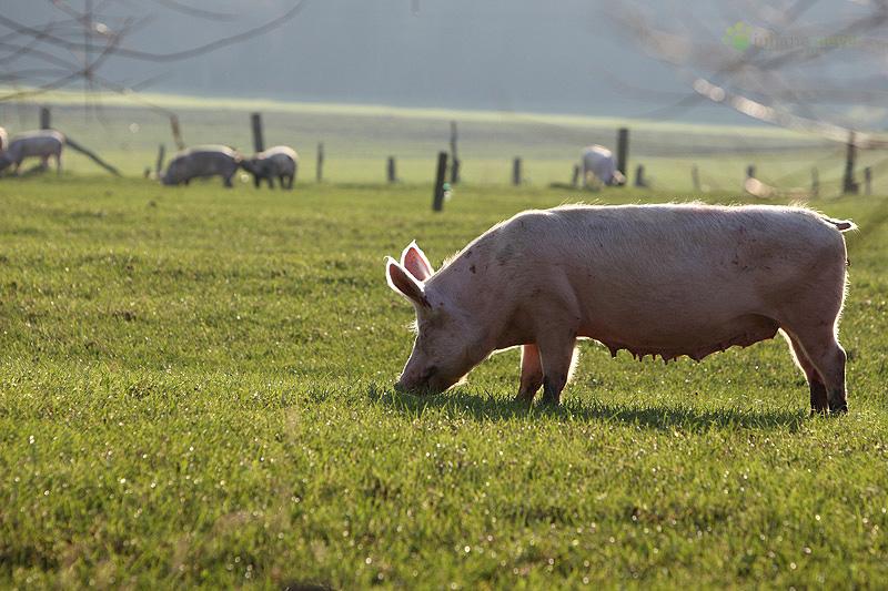 Schweineweide