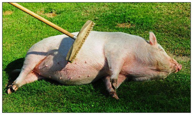 Schweinewellness