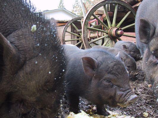 schweinisch
