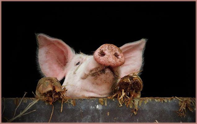 schweinische Neugierde......