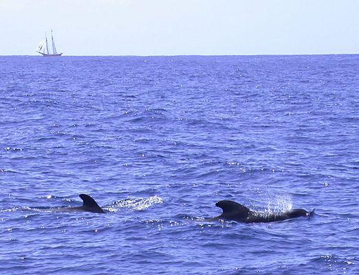 Schweinswale vor Teneriffa