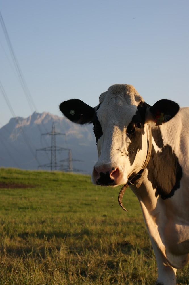 Schweizer Kuh...