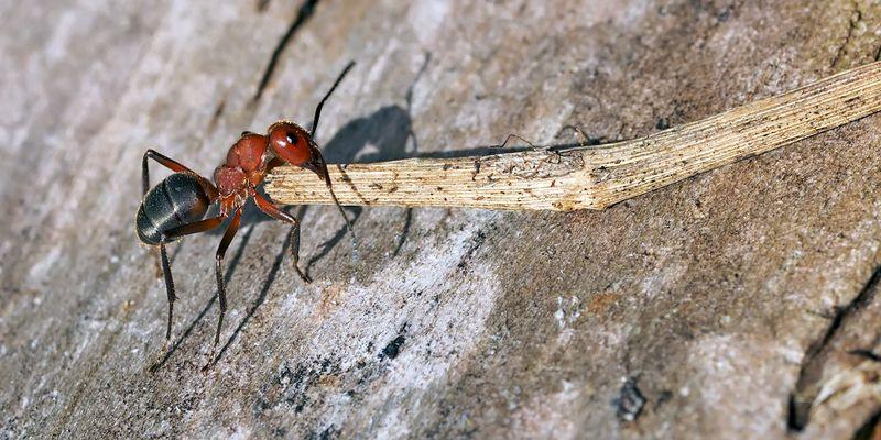 Schwerarbeit! Schwachbeborstete Gebirgswaldameise (Formica aquilonia) - Un dure labeur!